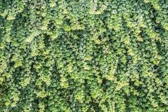 Grüne Efeuwand Stockfoto