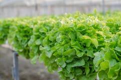 Grüne Eiche - organisches Gemüse Stockfotografie