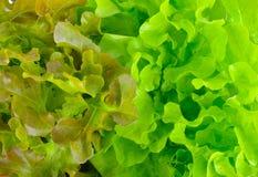 Grüne Eiche und Kopfsalatblätter der roten Eiche Stockbild