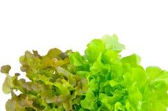 Grüne Eiche und Kopfsalatblätter der roten Eiche Stockbilder