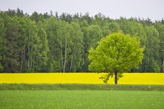Grüne Eiche unter einem Feld mit einem Raps Lizenzfreies Stockbild
