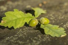 Grüne Eichel Stockfotografie