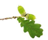 Grüne Eichel mit dem Blatt lokalisiert auf Weiß Lizenzfreie Stockfotos