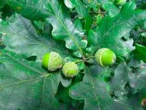 Grüne Eicheln auf den Niederlassungen der Eiche lizenzfreies stockbild