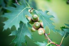 grüne Eicheln auf einem Baum im Sommer Stockfotografie