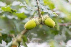 Grüne Eicheln der Nahaufnahme im Baum Stockbild