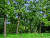 Grüne Eichen Lizenzfreie Stockbilder