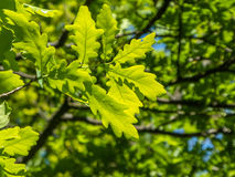 Grüne Eichen-Blätter Stockfotos