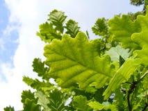 Grüne Eichenblätter Stockbilder
