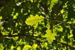 Grüne Eichenblätter lizenzfreie stockfotos