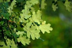 Grüne Eichenblätter bedeckt mit Wassertröpfchen Stockfotos