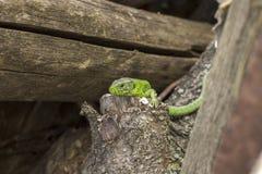 Grüne Eidechse Stockfotos