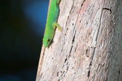 Grüne Eidechse auf Baum mit interessanten Barkenmustern auf Insel Stockbilder
