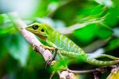 Grüne Eidechse auf dem Baum Lizenzfreie Stockfotografie