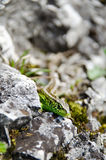 Grüne Eidechse auf den Felsen Lizenzfreie Stockfotos