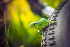 Grüne Eidechse auf einem Rad lizenzfreie stockfotografie