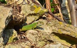 Grüne Eidechse aus seinem Loch heraus Stockbild