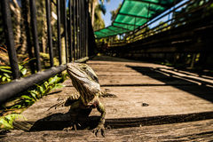 Grüne Eidechse, die Kamera gegenüberstellt Lizenzfreie Stockfotografie