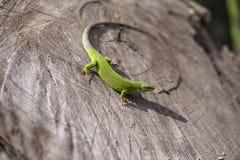 Grüne Eidechse - grüne Eidechse mit einem langen Schwanz, der auf einem Stück Holz steht Stockbilder
