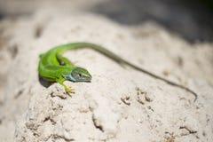 Grüne Eidechse - grüne Eidechse mit einem langen Schwanz, der auf einem Stück Holz steht Lizenzfreie Stockfotos