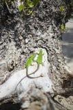 Grüne Eidechse - grüne Eidechse mit einem langen Schwanz, der auf einem Stück Holz steht Lizenzfreie Stockbilder