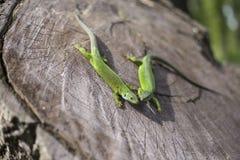Grüne Eidechse - grüne Eidechse mit einem langen Schwanz, der auf einem Stück Holz steht Stockbild