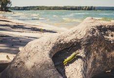 Grüne Eidechse im natürlichen Lebensraum Stockfotografie
