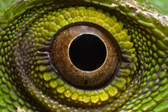 Grüne Eidechse - Polychrotidae oder Anoles Lizenzfreie Stockbilder