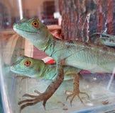 Grüne Eidechsen männlich und weiblich Stockfotos
