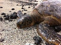 Grüne ein Sonnenbad nehmende Meeresschildkröte Stockbild