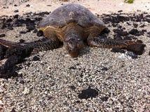 Grüne ein Sonnenbad nehmende Meeresschildkröte Stockbilder