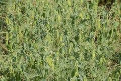 Grüne Erbsen auf dem Gebiet Wachsende Erbsen auf dem Gebiet Stämme und Hülsen von Erbsen Lizenzfreies Stockfoto