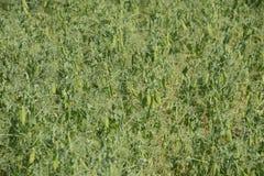 Grüne Erbsen auf dem Gebiet Wachsende Erbsen auf dem Gebiet Stämme und Hülsen von Erbsen Lizenzfreie Stockfotografie