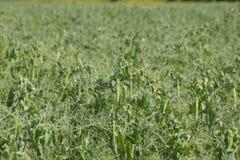 Grüne Erbsen auf dem Gebiet Wachsende Erbsen auf dem Gebiet Stämme und Hülsen von Erbsen Stockfotografie