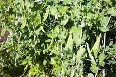 Grüne Erbsen auf Nahaufnahmen eines Weißhintergrundes Stockbilder