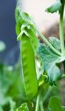 Grüne Erbsen auf Nahaufnahmen eines Weißhintergrundes stockbild