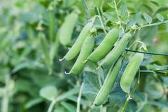 Grüne Erbsen im Garten Lizenzfreies Stockfoto