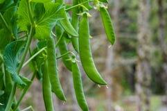 Grüne Erbsenhülsen auf einer Erbsenanlage Stockbild