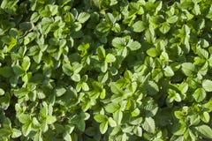 Grüne Erdbeerblätter Lizenzfreie Stockfotos