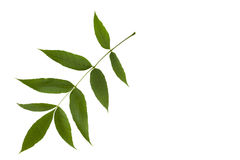 Grüne Escheblätter lokalisiert auf weißem Hintergrund Lizenzfreie Stockfotos