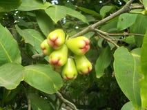Grüne Eugeniafrucht, die am Baum hängt stockbilder
