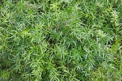 Grüne Farnanlage mit langen schlanken Blättern für Hintergrund lizenzfreies stockfoto