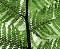 Grüne Farnblätter Lizenzfreie Stockfotografie