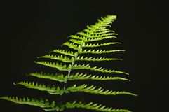 Grüne Farnblattnahaufnahme Stockbilder