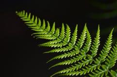 Grüne Farnblattnahaufnahme Lizenzfreies Stockfoto