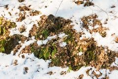 Grüne Farne und trockene braune Blätter unter dem Schnee lizenzfreie stockfotografie