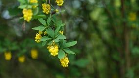Grüne Federblätter und gelbe Blumen von Rot-Aufhalten Berberitzenbeere in 4K stock video