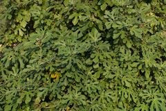 Grüne Feigenbaumblätter als Hintergrund, Tapete stockbild