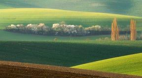 Grüne Feld-Rollen-Landschaft mit weißem Baum Landschaft mit weißes Frühjahr-blühenden Bäumen auf Hintergrund-grünem Hügel, Stockfotografie