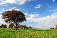 Grüne Felder, blauer Himmel, einsamer Baum Lizenzfreies Stockfoto